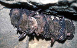 Bats at Devil's Den State Park - Arkansas